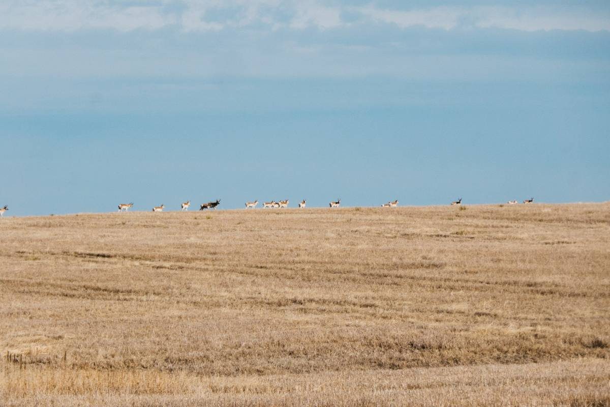 The other guys don't freak out like I do when we spot pronghorn, but I can't help it. Fastest land animal in North America. There one moment, gone the next.